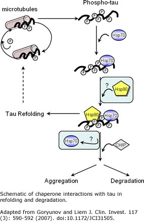 Schematic of chaperone interactions with tau in refolding and degradation. Adapted from Goryunov and Liem J. Clin. Invest. 117(3): 590-592 (2007). doi:10.1172/JCI31505.